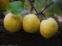 砀山酥梨苗木繁育技术